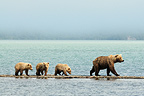 Grizzly and young walking on lake Katmai Alaska  (Grizzly bear)