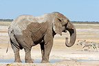 African elephant just drinking from a water point Namibia  (African elephant)