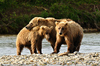 Grizzly and young on the shore Katmai Alaska  (Grizzly bear)