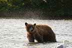 Grizzly shake a river in Katmai, Alaska� (Grizzly bear)