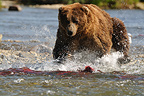 Grizzly catching a sockeye salmon in a river Katmai Alaska (Grizzly bear )