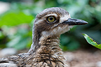 Portrait of a Bush Thick-knee Queensland Australia (Bush stone-curlew)