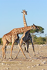 Friendly fight between two young male giraffes, Namibia