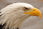 Portrait of Bald Eagle Alaska USA  (Bald eagle)