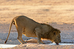 Lion drinking at a watering place Etosha Namibia (African lion)