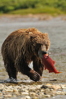 Grizzly catching a sockeye salmon in a river Katmai Alaska (Grizzly bear)