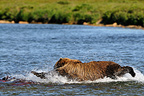 Grizzly pursuing a red salmon in a river Katmai Alaska (Grizzly bear )