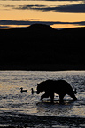 Grizzly Bear silhouette at sunset Katmai Alaska� (Grizzly bear)