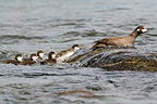 Harlequin duck and chick swimming against the current Alaska (Harlequin duck)