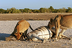 Lioness beginning to eat a zebra found dead Namibia (African lion)