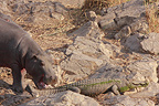 Meeting between subadult hippo and a Nile Crocodile  (Nile Crocodile; Hippopotamus)