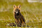 Young red fox sitting in the tundra Alaska USA  (Red fox)