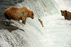 Grizzlys on the lookout in water falls Katmai Alaska (Grizzly bear )