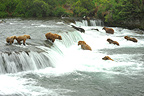 Grizzlies fishing for salmon in falls Katmai Alaska  (Grizzly bear)