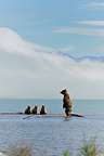 Grizzly and cubs lake Katmai Alaksa  (Grizzly bear)