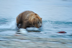 Grizzly pursuing a Sockeye salmon in a river Katmai Alaska (Grizzly bear )