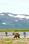 Grizzly walking along a river and fishermen Katmai (Grizzly bear)