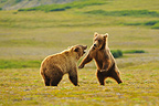 Grizzly bears playing in the tundra Katmai Alaska (Grizzly bear)