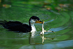 Little Pied Cormorant holding a frog by a paw Australia (Little Pied Cormorant)