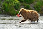 Sub-adult grizzly bear with a salmon Katmai Alaska  (Grizzly bear )