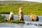 Grizzly and yearling cubs to look into a river Katmai Alaska (Grizzly bear)