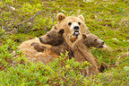 Grizzly and yearling cubs lying in the tundra Katmai Alaska  (Grizzly bear)
