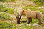 Grizzly and yearling cub in the tundra Katmai Alaska  (Grizzly bear)