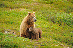 Grizzly and yearling cub in the tundra Katmai Alaska� (Grizzly bear)