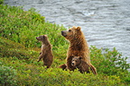 Grizzly and yearling cubs in the tundra Katmai Alaska  (Grizzly bear)