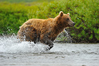 Grizzly pursuing Sockeye salmons in a river Katmai  (Grizzly bear )