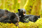 Black bear and cubs at rest on the foam Canada  (Black bear )