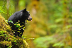 Black Bear cub down a tree British Columbia (Black bear )
