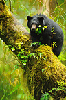 Black Bear cub on a mossy trunk British Columbia (Black bear )