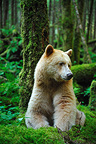 Kermode bear sitting in the wet temperate forest Canada  (Black bear )