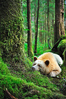 Kermode bear lying in the wet temperate forest Canada  (Black bear )