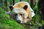 Kermode bear lying in the wet temperate forest Canada� (Black bear )