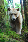 Kermode bear walking in the wet temperate forest Canada  (Black bear )