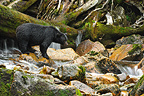 Black bear in a river British Columbia  (Black bear )