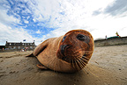 Harbor seal on a beach Estuaire de la Rance France� (Harbor Seal)