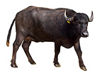 Portrait of a female Buffalo Region of Naples Italy  (Water Buffalo)
