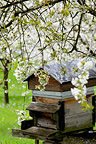 Bees in an orchard of cherry blossoms, Fougerolles, France