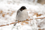Male Sardinian Warbler on a snowy branch France (Sardinian Warbler)