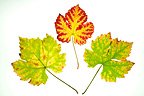 Wine grape leaves variety 'Chasselas' in autumn Alsace