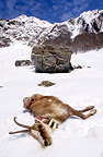 Corpse of pyrenean chamois killed by an avalanche France (Pyrenean chamois)