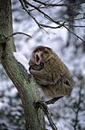 Male Barbary macaque yawning in a tree in winter Morocco (Barbary macaque)