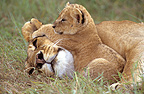Lioness and her cub doing a nap Masai Mara Kenya (African lion)