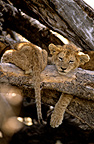 Lion cubs doing a nap on a tree Masai Mara Kenya (African lion)