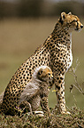 Cheetah and its young sat side by side Masai Mara Kenya (Cheetah)