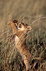 Lion cub playing with high grass Masai Mara Kenya� (African lion)