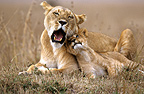 Lioness and her cub resting Masai Mara Kenya (African lion)